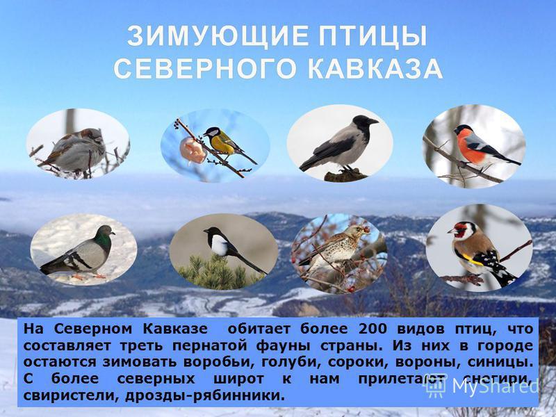 ЗИМУЮЩИЕ ПТИЦЫ СЕВЕРНОГО КАВКАЗА На Северном Кавказе обитает более 200 видов птиц, что составляет треть пернатой фауны страны. Из них в городе остаются зимовать воробьи, голуби, сороки, вороны, синицы. С более северных широт к нам прилетают снегири,