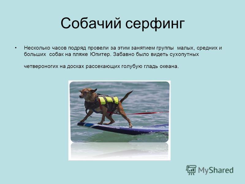 Собачий серфинг Несколько часов подряд провели за этим занятием группы малых, средних и больших собак на пляже Юпитер. Забавно было видеть сухопутных четвероногих на досках рассекающих голубую гладь океана.