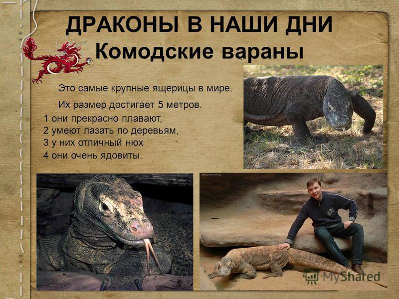 Это самые крупные ящерицы в мире. Их размер достигает 5 метров. ДРАКОНЫ В НАШИ ДНИ Комодские вараны 1 они прекрасно плавают, 2 умеют лазать по деревьям, 3 у них отличный нюх 4 они очень ядовиты.