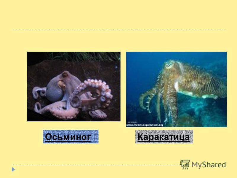 Осьминоги вбирают в себя воду и затем резко выбрасывают её, получая при этом импульс, направленный в противоположную сторону. Управляя струёй, осьминог может двигаться в нужном направлении.