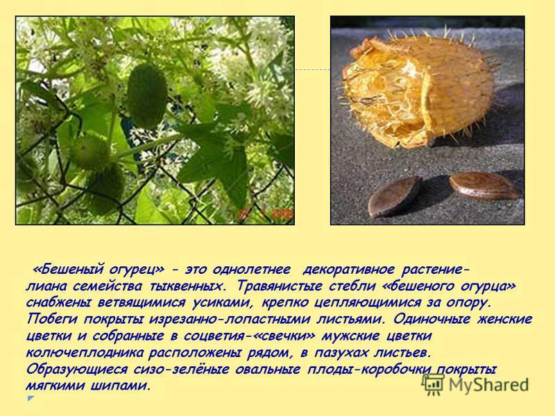Примеры реактивного движения можно обнаружить и в мире растений. Например, созревшие плоды бешеного огурца при самом лёгком прикосновении отскакивают от плодоножки и из образовавшегося отверстия с силой выбрасывается горькая жидкость с семенами; сами