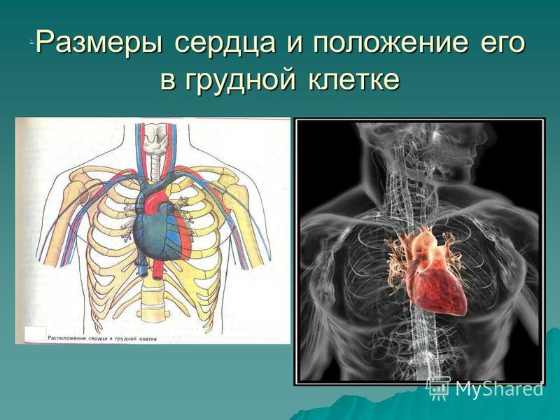 Размеры сердца и положение его в грудной клетке.