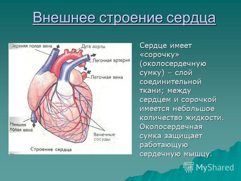 Внешнее строение сердца Внешнее строение сердца Сердце имеет «сорочку» (околосердечную сумку) – слой соединительной ткани; между сердцем и сорочкой имеется небольшое количество жидкости. Околосердечная сумка защищает работающую сердечную мышцу.