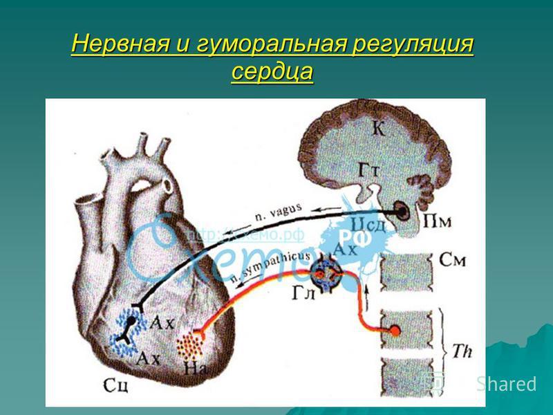 Нервная и гуморальная регуляция сердца