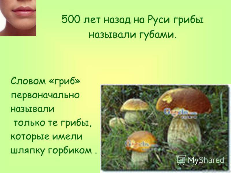500 лет назад на Руси грибы называли губами. Словом «гриб» первоначально называли только те грибы, которые имели шляпку горбиком.