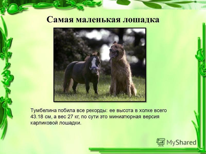 Самая маленькая лошадка Тумбелина побила все рекорды: ее высота в холке всего 43.18 см, а вес 27 кг, по сути это миниатюрная версия карликовой лошадки.