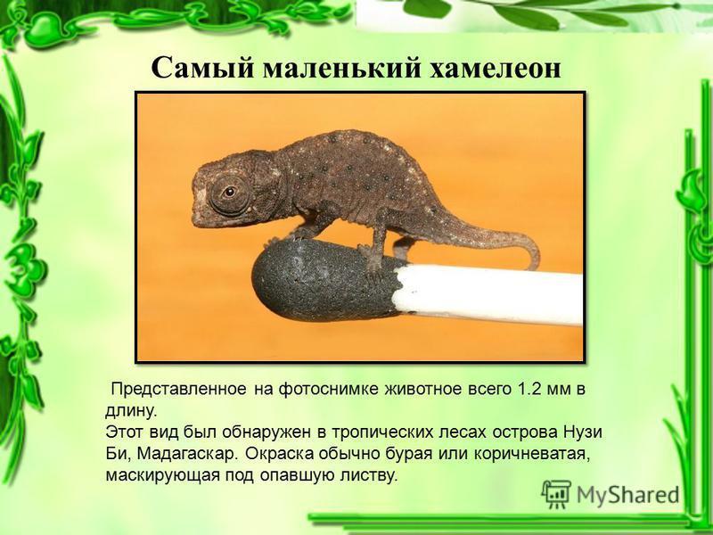 Самый маленький хамелеон Представленное на фотоснимке животное всего 1.2 мм в длину. Этот вид был обнаружен в тропических лесах острова Нузи Би, Мадагаскар. Окраска обычно бурая или коричневатая, маскирующая под опавшую листву.
