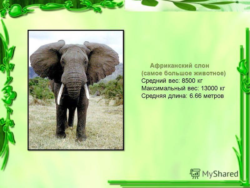 Африканский слон (самое большое животное) Средний вес: 8500 кг Максимальный вес: 13000 кг Средняя длина: 6.66 метров