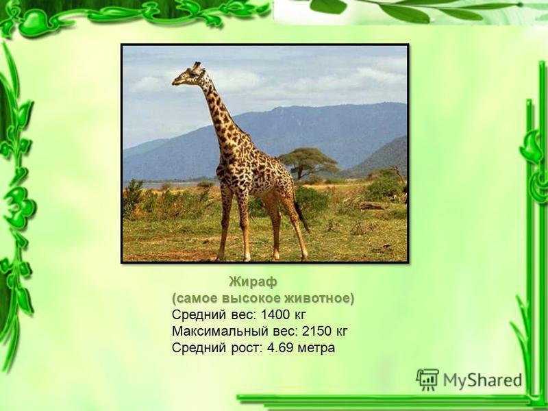Жираф (самое высокое животное) Средний вес: 1400 кг Максимальный вес: 2150 кг Средний рост: 4.69 метра