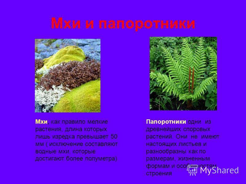 Мхи и папоротники Мхи, как правило мелкие растения, длина которых лишь изредка превышает 50 мм ( исключение составляют водные мхи, которые достигают более полуметра) Папоротники одни из древнейших споровых растений. Они не имеют настоящих листьев и р