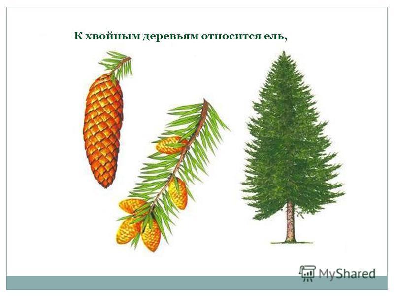 К хвойным деревьям относится ель,