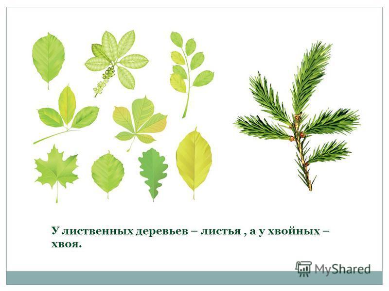 У лиственных деревьев – листья, а у хвойных – хвоя.