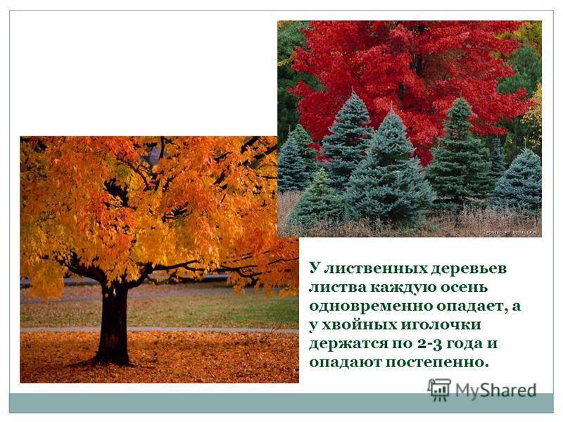 У лиственных деревьев листва каждую осень одновременно опадает, а у хвойных иголочки держатся по 2-3 года и опадают постепенно.