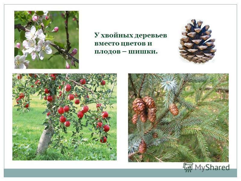 У хвойных деревьев вместо цветов и плодов – шишки.