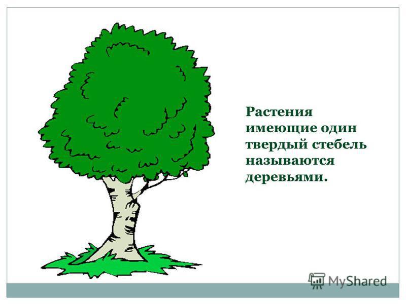 Растения имеющие один твердый стебель называются деревьями.
