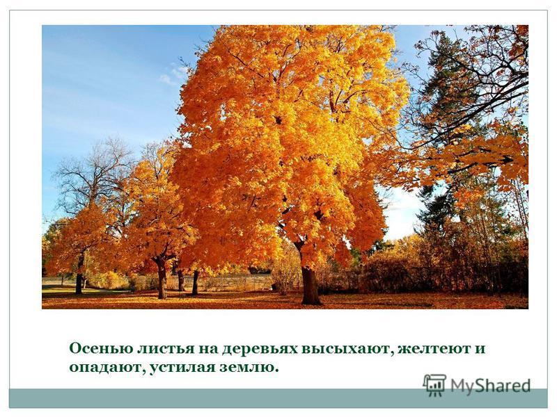 Осенью листья на деревьях высыхают, желтеют и опадают, устилая землю.