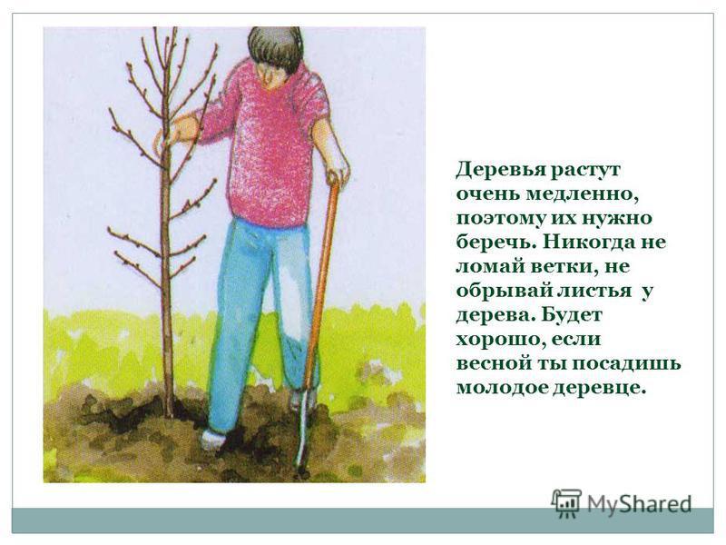 Деревья растут очень медленно, поэтому их нужно беречь. Никогда не ломай ветки, не обрывай листья у дерева. Будет хорошо, если весной ты посадишь молодое деревце.