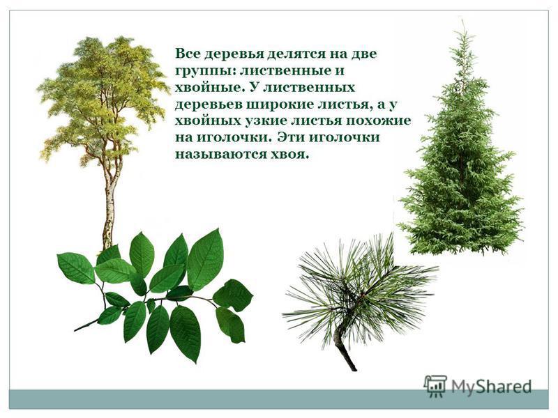 Все деревья делятся на две группы: лиственные и хвойные. У лиственных деревьев широкие листья, а у хвойных узкие листья похожие на иголочки. Эти иголочки называются хвоя.