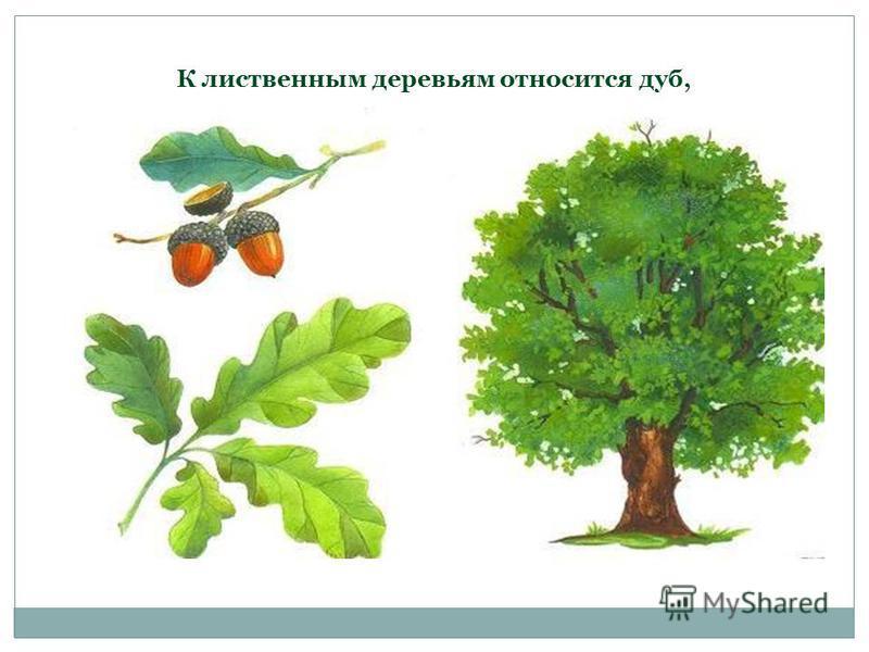 К лиственным деревьям относится дуб,
