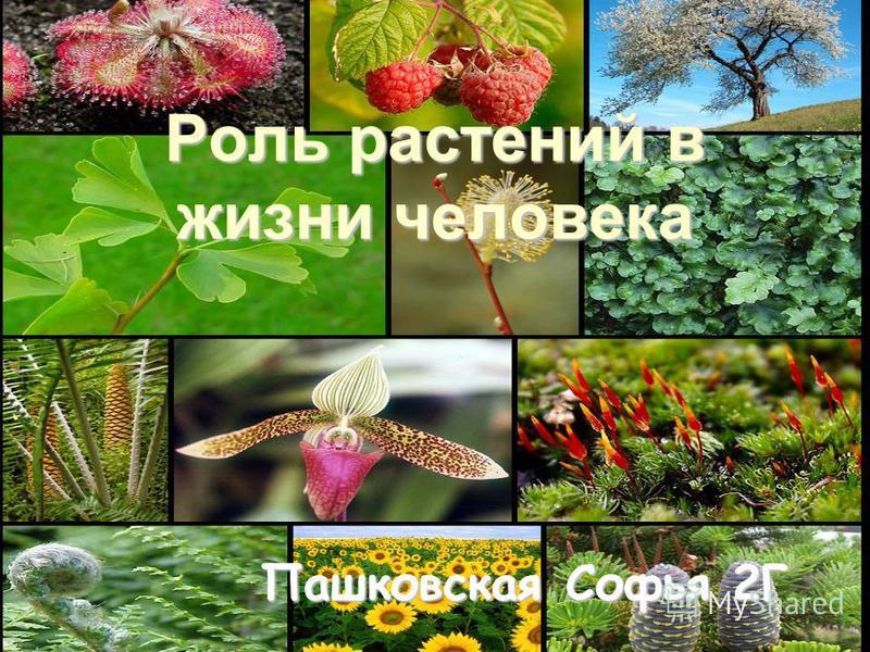 Роль растений в жизни человека Пашковская Софья 2Г