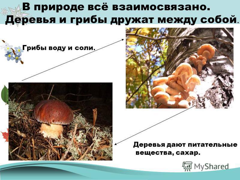 В природе всё взаимосвязано. Деревья и грибы дружат между собой. Деревья дают питательные вещества, сахар. Грибы воду и соли.