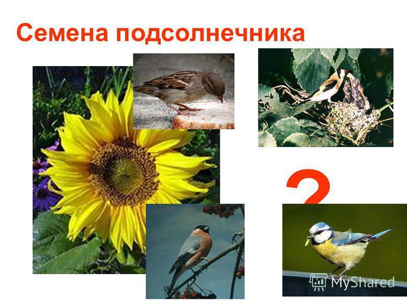 Семена подсолнечника ?