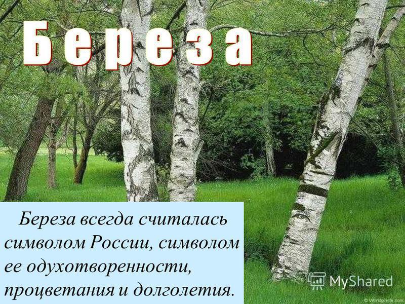 Береза всегда считалась символом России, символом ее одухотворенности, процветания и долголетия.