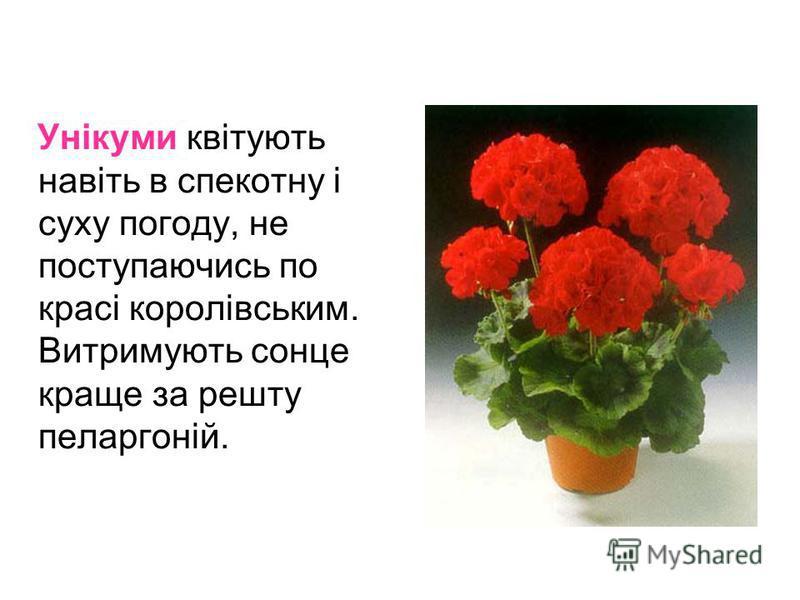 Унікуми квітують навіть в спекотну і суху погоду, не поступаючись по красі королівським. Витримують сонце краще за решту пеларгоній.