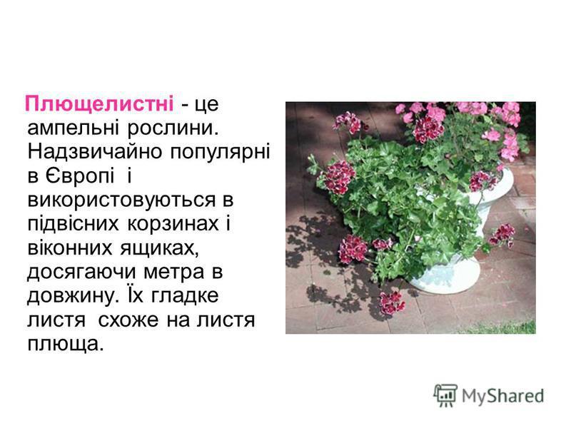Плющелистні - це ампельні рослини. Надзвичайно популярні в Європі і використовуються в підвісних корзинах і віконних ящиках, досягаючи метра в довжину. Їх гладке листя схоже на листя плюща.
