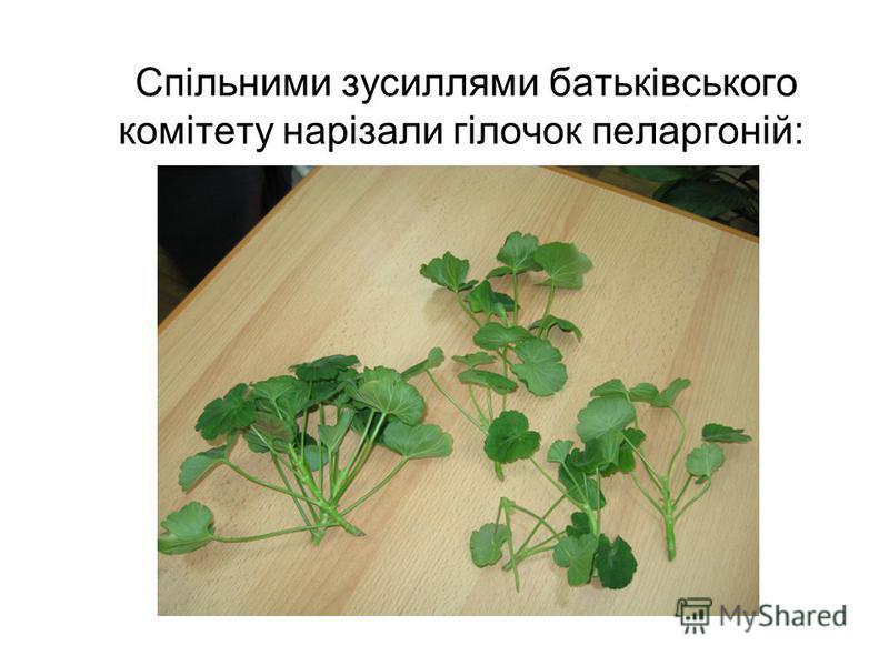 Спільними зусиллями батьківського комітету нарізали гілочок пеларгоній: