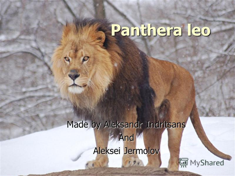 Panthera leo Made by Aleksandr Indritsans And Aleksei Jermolov