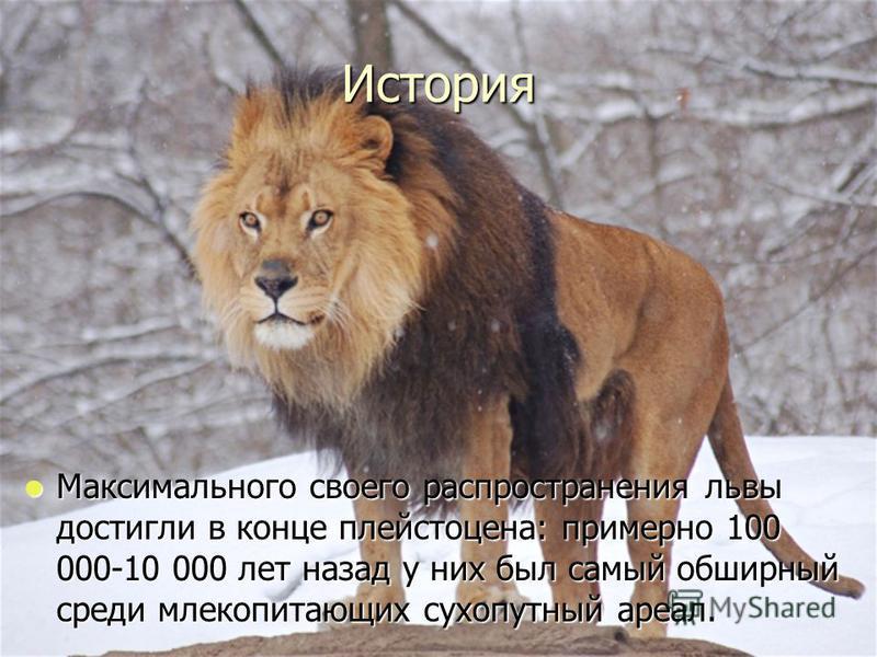 История Максимального своего распространения львы достигли в конце плейстоцена: примерно 100 000-10 000 лет назад у них был самый обширный среди млекопитающих сухопутный ареал. Максимального своего распространения львы достигли в конце плейстоцена: п