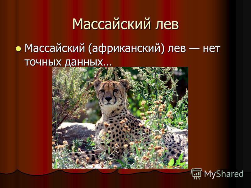 Массайский лев Массайский (африканский) лев нет точных данных… Массайский (африканский) лев нет точных данных…