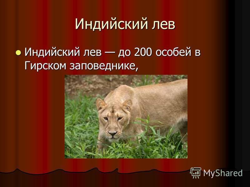Индийский лев Индийский лев до 200 особей в Гирском заповеднике, Индийский лев до 200 особей в Гирском заповеднике,