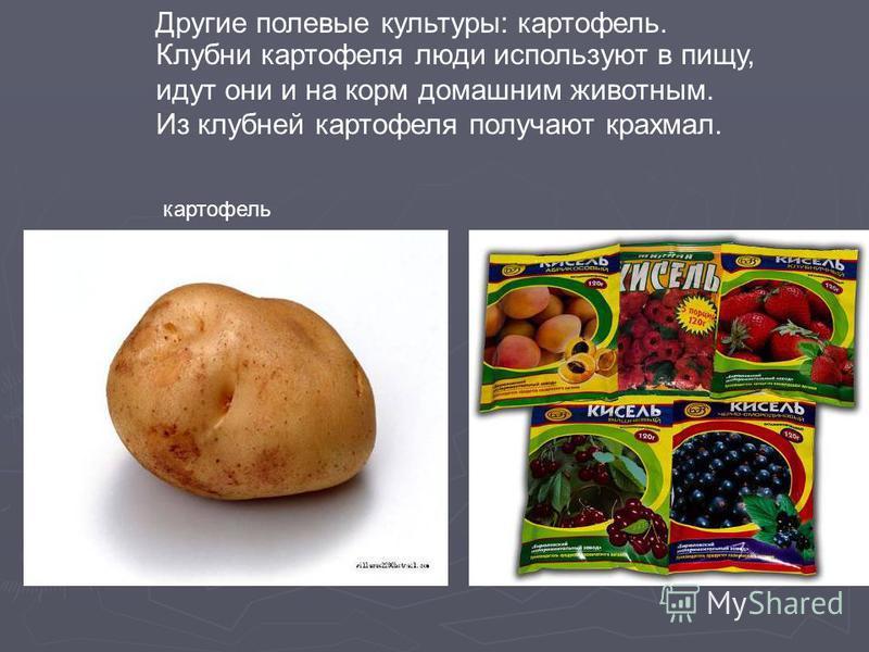 Клубни картофеля люди используют в пищу, идут они и на корм домашним животным. Из клубней картофеля получают крахмал. Другие полевые культуры: картофель. картофель