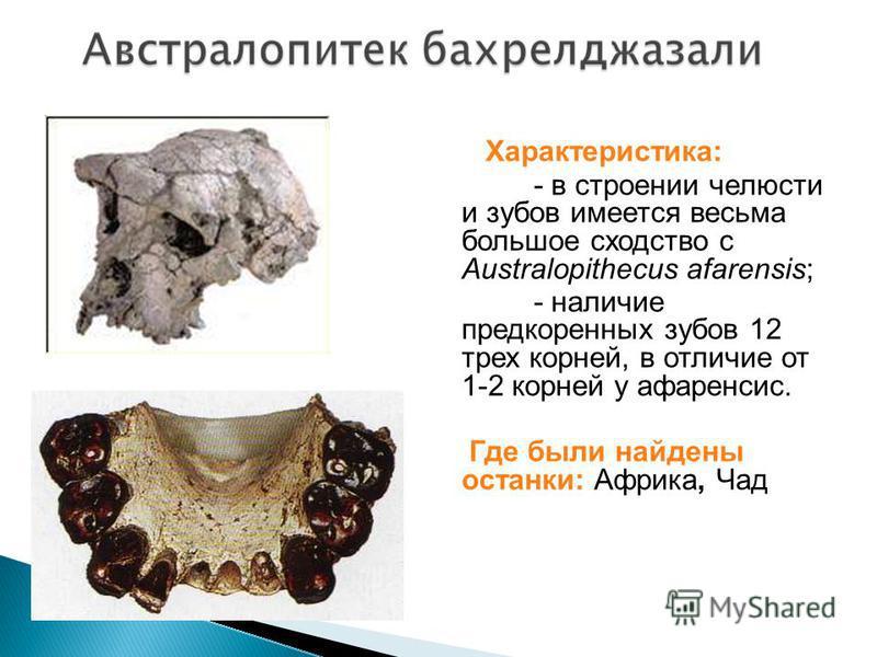 Характеристика: - в строении челюсти и зубов имеется весьма большое сходство с Australopithecus afarensis; - наличие предкоренных зубов 12 трех корней, в отличие от 1-2 корней у афаренсис. Где были найдены останки: Африка, Чад