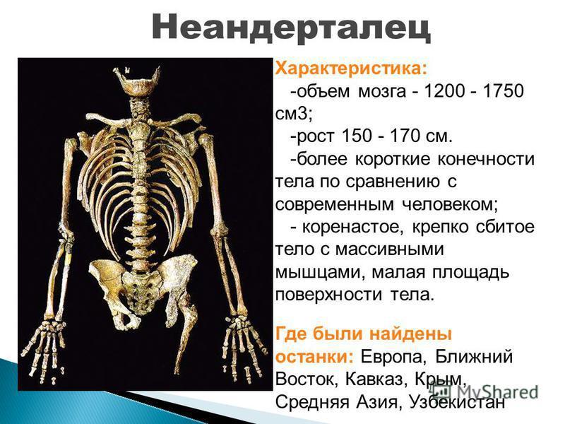Неандерталец Характеристика: -объем мозга - 1200 - 1750 см 3; -рост 150 - 170 см. -более короткие конечности тела по сравнению с современным человеком; - коренастое, крепко сбитое тело с массивными мышцами, малая площадь поверхности тела. Где были на