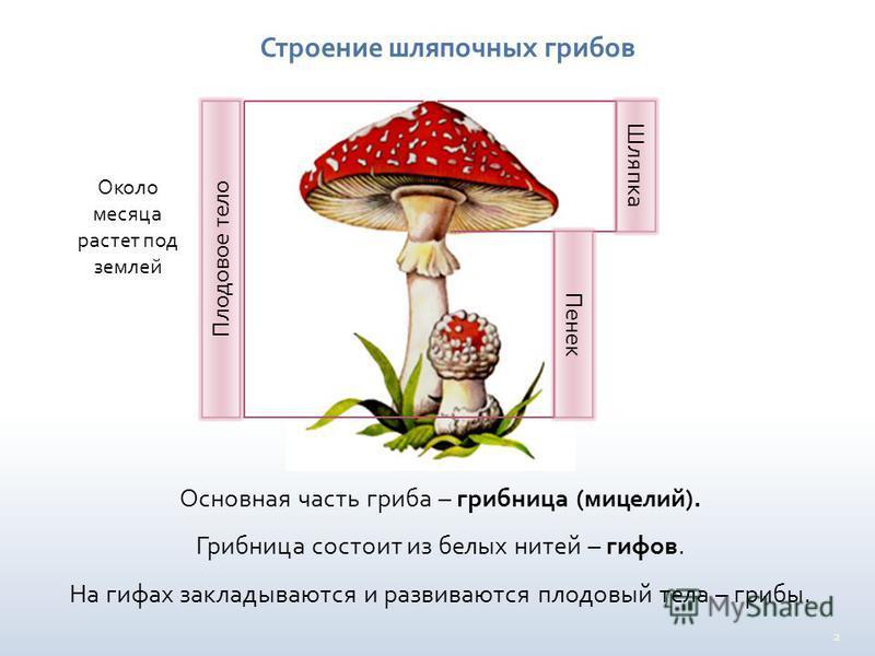 2 Строение шляпочных грибов Основная часть гриба – грибница (мицелий). Грибница состоит из белых нитей – гифов. На гифах закладываются и развиваются плодовый тела – грибы. Плодовое тело Шляпка Пенек Около месяца растет под землей