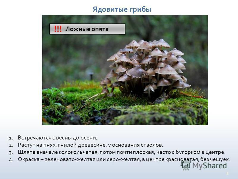 8 Ядовитые грибы Ложные опята !!! 1. Встречаются с весны до осени. 2. Растут на пнях, гнилой древесине, у основания стволов. 3. Шляпа вначале колокольчатая, потом почти плоская, часто с бугорком в центре. 4. Окраска – зеленовато-желтая или серо-желта