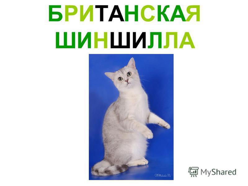 БРИТАНСКАЯ ШИНШИЛЛА