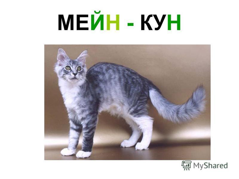 МЕЙН - КУН