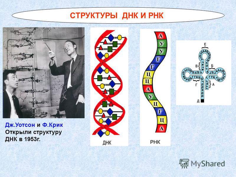 СТРУКТУРЫ ДНК И РНК Дж.Уотсон и Ф.Крик Открыли структуру ДНК в 1953 г.