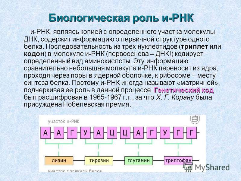 Биологическая роль и-РНК Генетический код и-РНК, являясь копией с определенного участка молекулы ДНК, содержит информацию о первичной структуре одного белка. Последовательность из трех нуклеотидов (триплет или кодон) в молекуле и-РНК (первооснова – Д