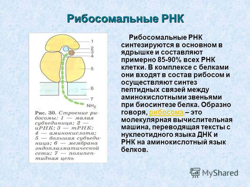 Рибосомальные РНК Рибосомальные РНК синтезируются в основном в ядрышке и составляют примерно 85-90% всех РНК клетки. В комплексе с белками они входят в состав рибосом и осуществляют синтез пептидных связей между аминокислотными звеньями при биосинтез