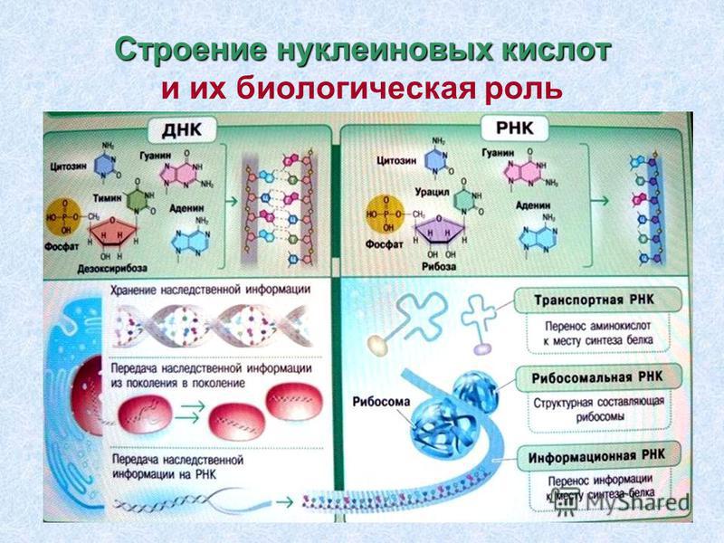 Строение нуклеиновых кислот Строение нуклеиновых кислот и их биологическая роль