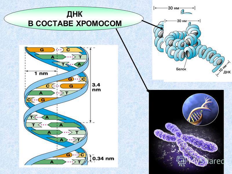 ДНК В СОСТАВЕ ХРОМОСОМ