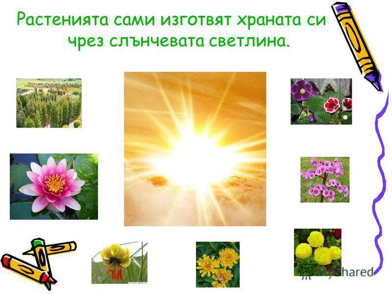 Растенията сами изготвят храната си чрез слънчевата светлина.
