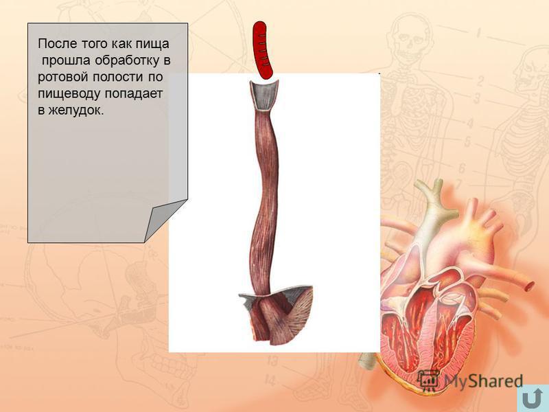 После того как пища прошла обработку в ротовой полости по пищеводу попадает в желудок.