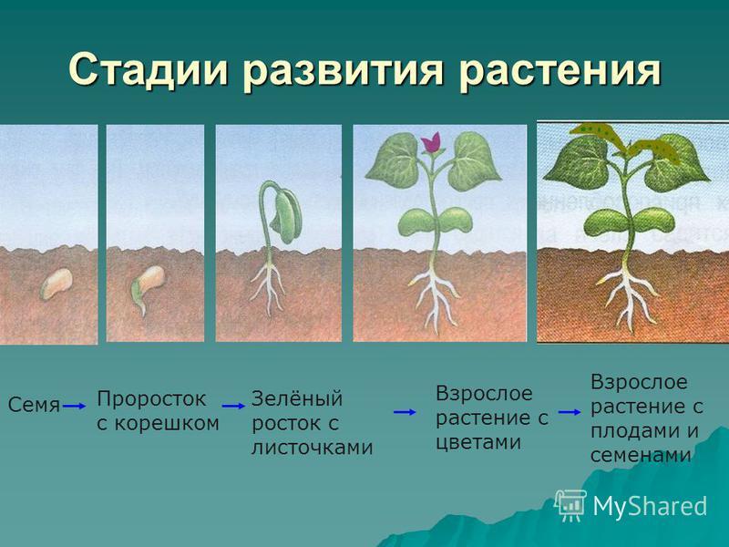 Стадии развития растения Семя Проросток с корешком Зелёный росток с листочками Взрослое растение с цветами Взрослое растение с плодами и семенами