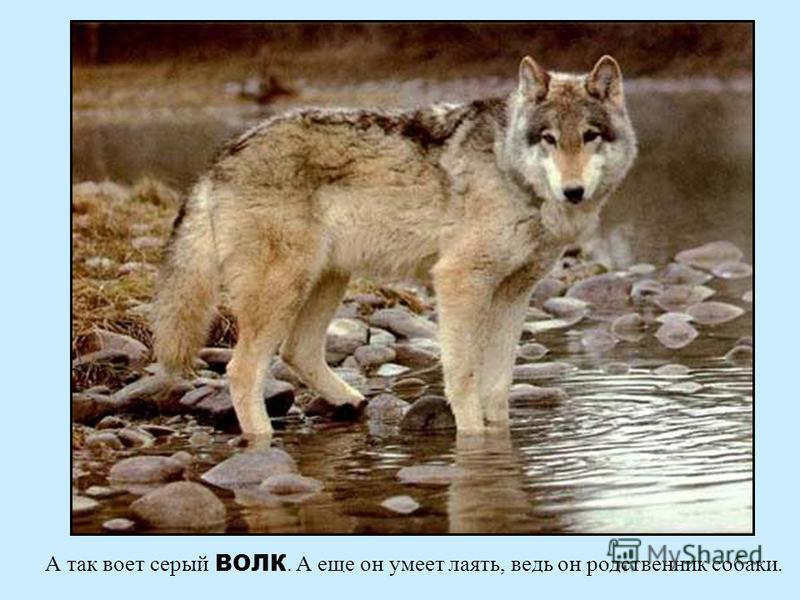 В лесу живут разные животные. Послушай, как рычит бурый МЕДВЕДЬ В лесу живут разные животные. Послушай, как рычит бурый медведь